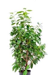 Laurowiśnia wschodnia ogromny krzew