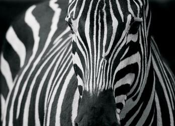 Zebra - fototapeta