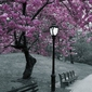 Central park blossom - plakat
