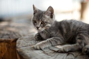 Fototapeta wypoczywający kot fp 2725