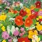 Kwiaty pachnące – jednoroczne mix – kiepenkerl
