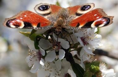 Fototapeta motyl krakowiak fp 2911