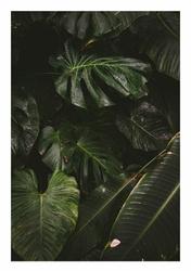 Deszczowa monstera  - plakat Wymiar do wyboru: 70x100 cm
