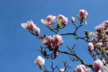 Fototapeta kwiaty magnoli na tle błękitnego nieba fp 347
