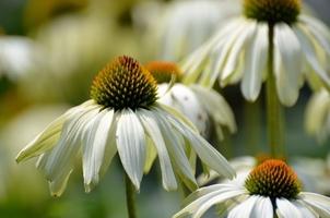Fototapeta na ścianę białe ogrodowe kwiaty fp 356