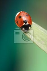 Fototapeta biedronka na kwiat rumianek