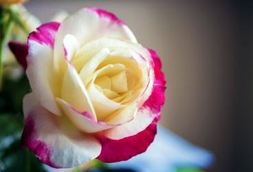 Fototapeta zjawiskowo ubarwiona róża fp 796