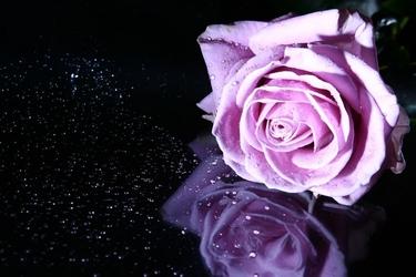 Fototapeta kwiat, róża 311