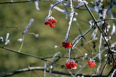 Fototapeta czerwone owoce krzewu pokryte szronem fp 729