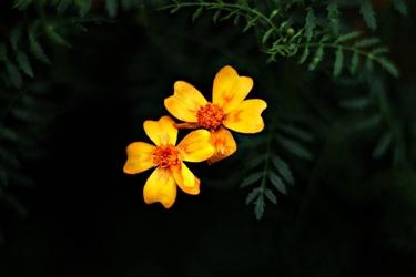 Pomarańczowe astry - plakat premium wymiar do wyboru: 70x50 cm