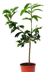 Ręka buddy drzewko