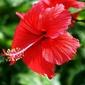 Fototapeta na ścianę piękny czerwony kwiat fp 285