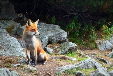 Fototapeta lis siedzący przy skałach fp 2898