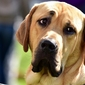 Fototapeta na ścianę spojrzenie psa fp 2669