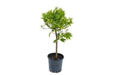 Mandarynka kleopatra duże drzewko