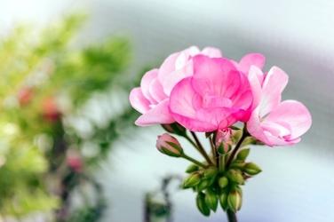 Fototapeta kwiat różowej palargoni fp 451