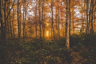 Fototapeta na ścianę jesienny las brzozowy fp 3326