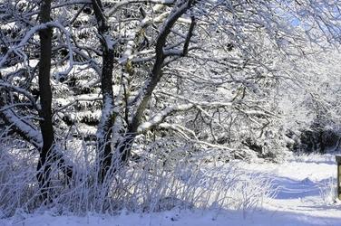 Fototapeta drzewo ubrane w pelerynę snieżną fp 1494