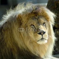 Naklejka samoprzylepna portret lwa