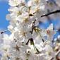 Fototapeta białe kwiaty wiśni fp 702