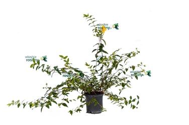 Hypericum krzew