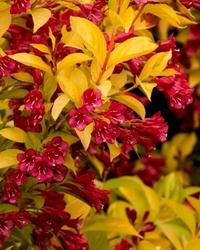 Krzewuszka aurea złoty krzew w ogrodzie