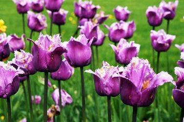 Fototapeta fioletowe strzępiaste tulipany fp 406