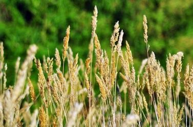 Fototapeta bujne trawy na zielonym tle FP 1752