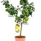 Cytryna carrubaro duże drzewko