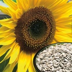 Słonecznik zwyczajny snack – kiepenkerl