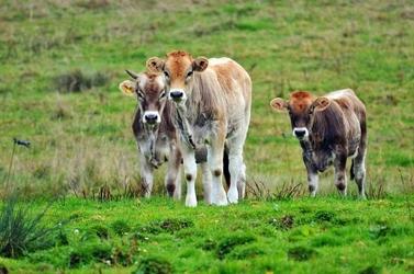 Fototapeta idące krowy fp 2490