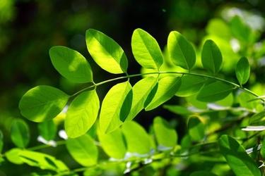Fototapeta zielony liść akacji fp 616