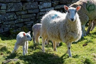 Fototapeta na ścianę owca z młodym fp 2957