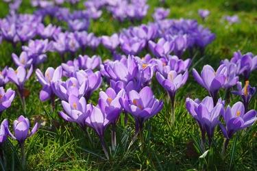 Fototapeta kwiat, krokusy 340