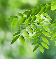 Obraz zielone liście gymnocladus liście