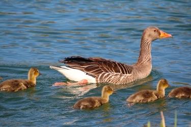 Fototapeta kaczka z potomstwem fp 2481