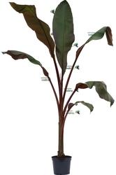 Bananowiec ensete maurelii duże drzewo