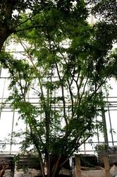 Caesalpinia coriaria