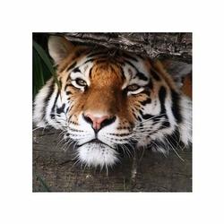Hidden Tiger - reprodukcja