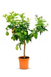 Cytryna lunario drzewko