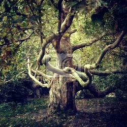 Plakat stare drzewo jawor