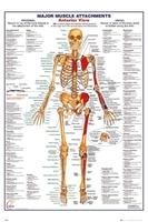 Ciało człowieka - przód budowa wersja angielska - plakat