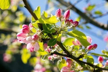 Fototapeta kwitnąca jabłoń fp 313