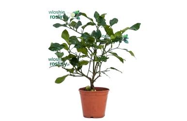 Citrus gajanimma duży krzew