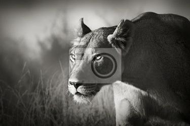 Fototapeta lwica stalking