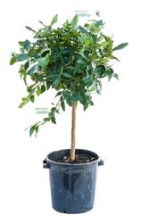 Lima tahiti duże drzewo