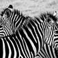 Tanzania, zebry - plakat premium wymiar do wyboru: 70x50 cm