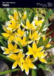 Tulipan tarda – 30 szt