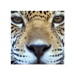 Leopard - reprodukcja
