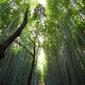Las bambusowy - plakat wymiar do wyboru: 30x20 cm